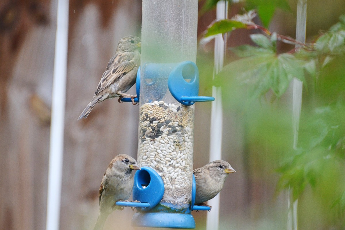 Sparrows at a feeder; the white seeds are safflower seeds