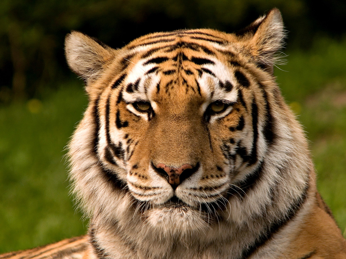 A Siberian Tiger is a critically endangered animal, which means that they are in danger of becoming extinct in the immediate future.