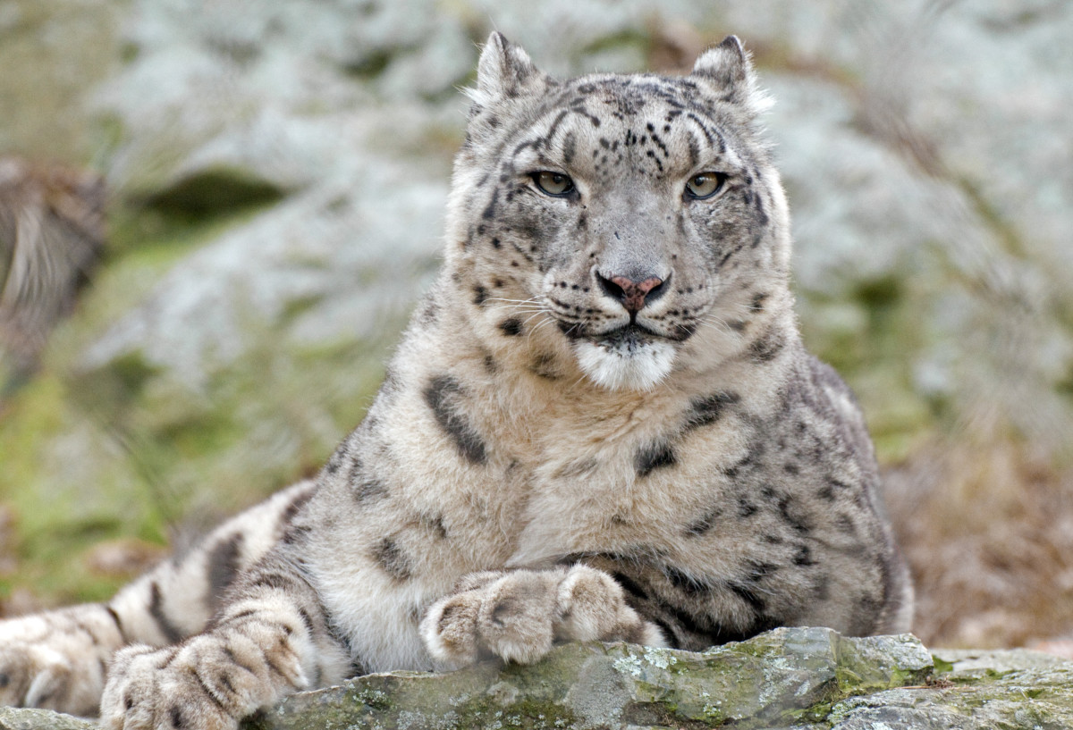 Snow leopards are very beautiful animals. Unfortunately, their beauty has caused poachers to hunt them.