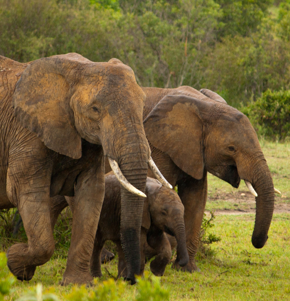 Elephants are very protective of their young. This is one thing that helps them survive despite their decreasing numbers.