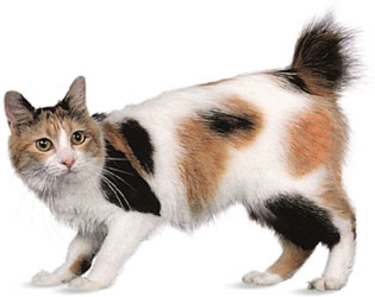 Japanese bobtail is a cat breed that inspired Maneki Neko.