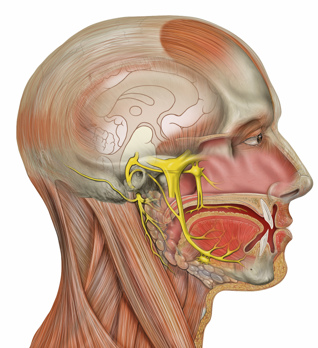 The trigeminal nerve (in yellow) is the source of 'brain-freeze.' this heavily branched nerve misreads signals around the palate when you eat icecream, interpreting them as pain.
