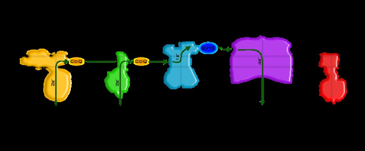 oxidative-phosphorylation-the-basics