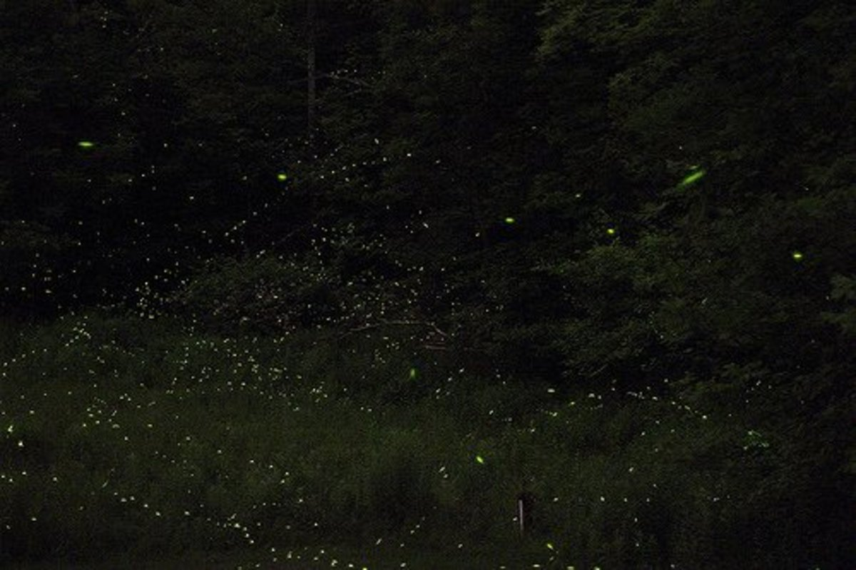 Lots of Fireflies