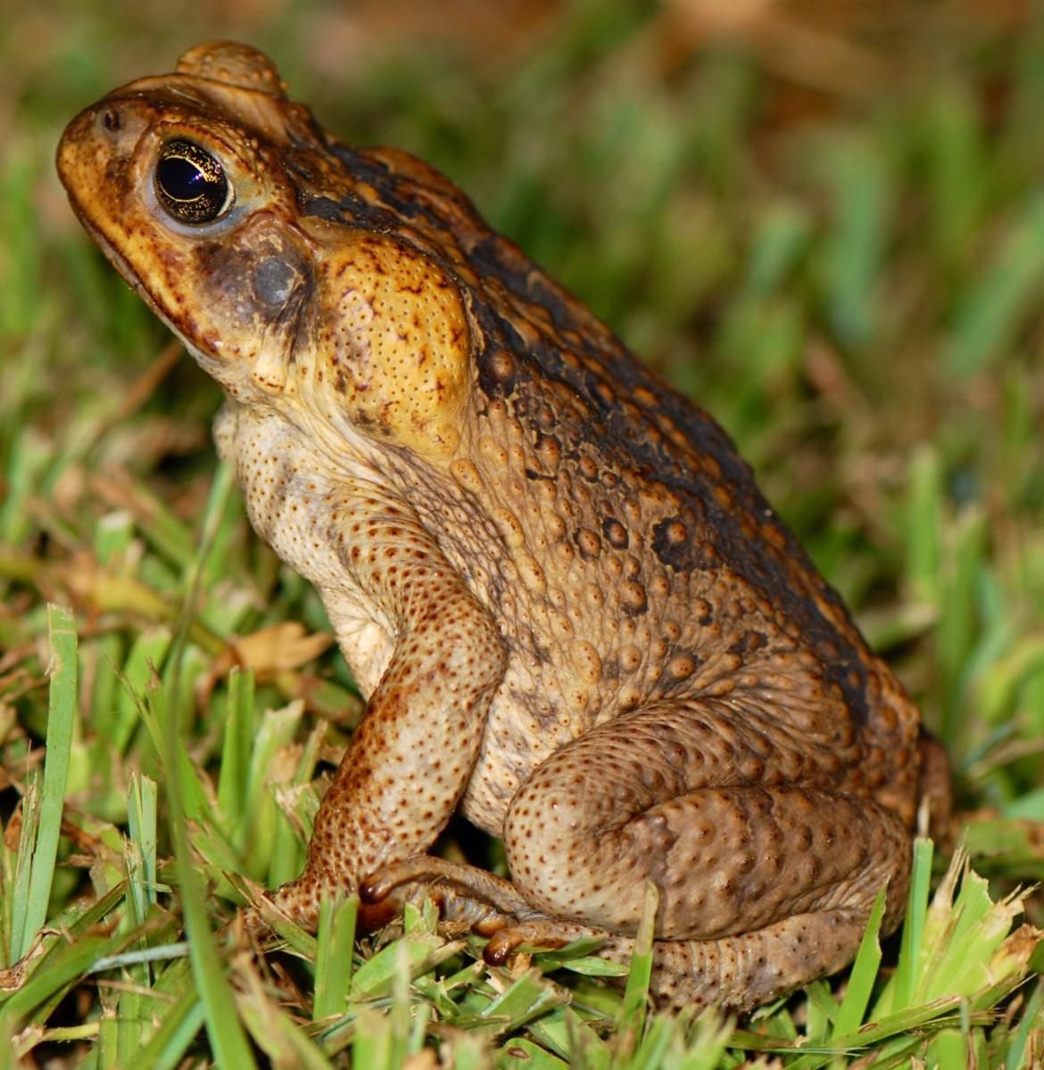 A cane toad, or Bufo marinus