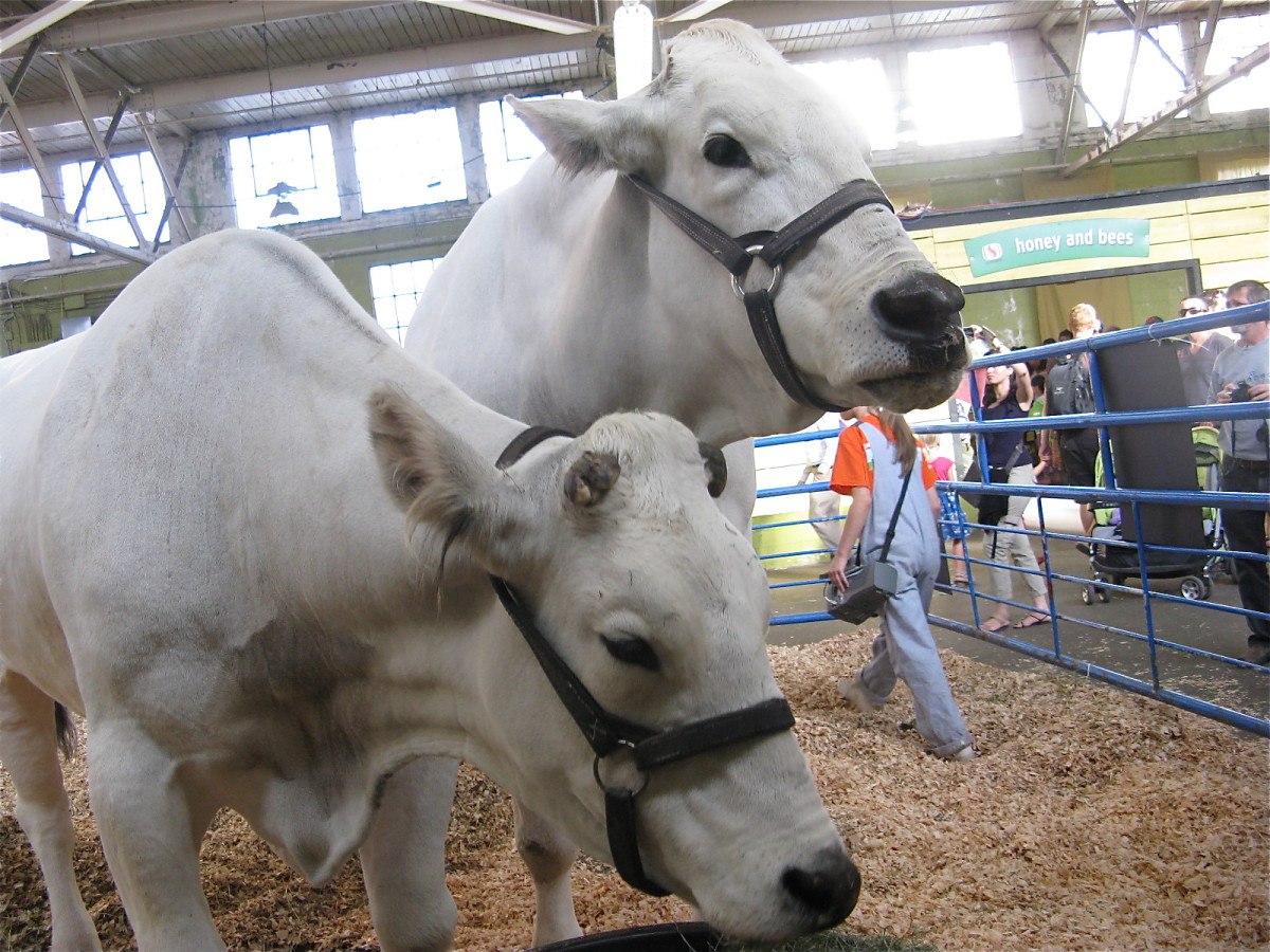 Pest control methods must be safe for livestock, such as these chianina oxen.