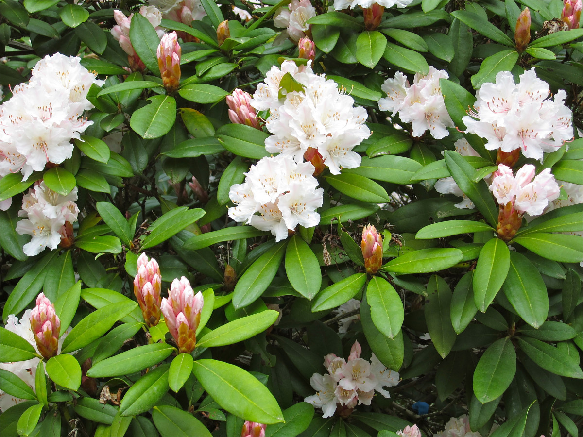 Rhododendrons can be lovely even when not treated with pesticides.