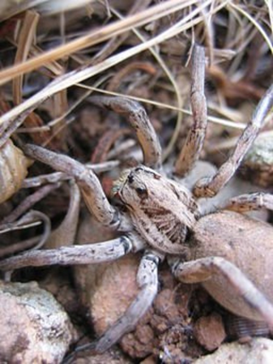 Tarantulas are one of the few dangerous species of spiders in North America.