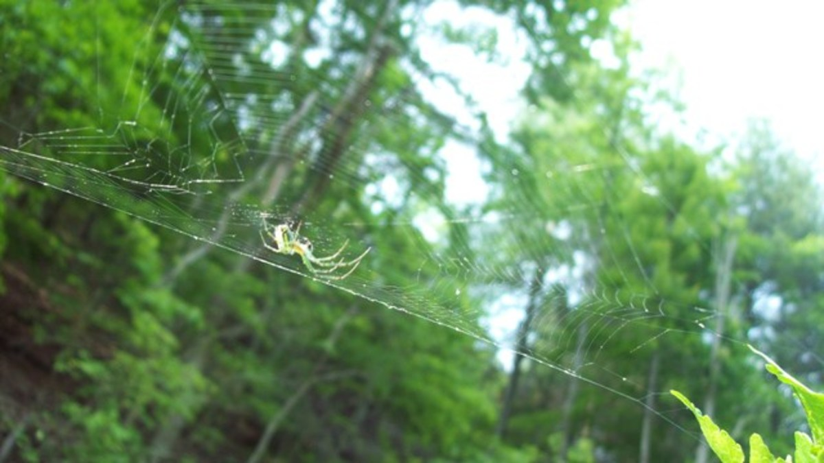 Hanging upside down. They have non-sticky fibers and they don't stick to their webs, but somehow they stick when gravity could otherwise pull them down.