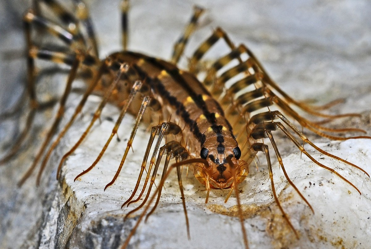 House centipedes prefer damp and dark areas.