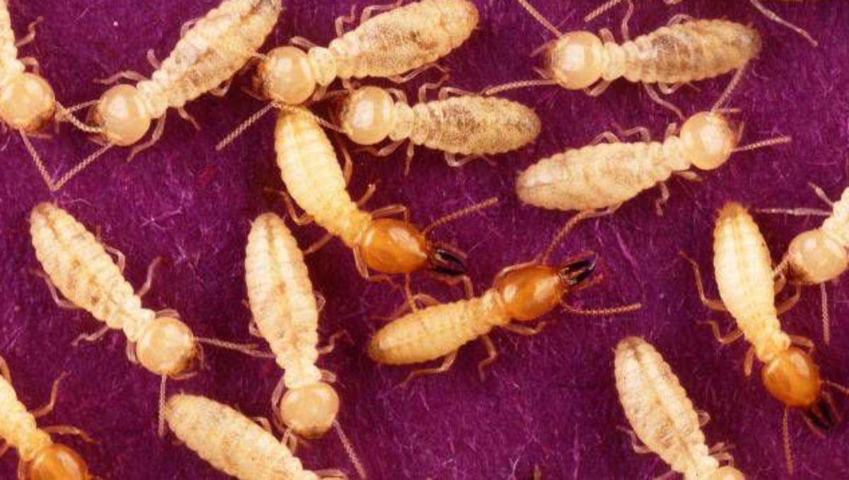 Termites are detritivores, or detritus feeders.