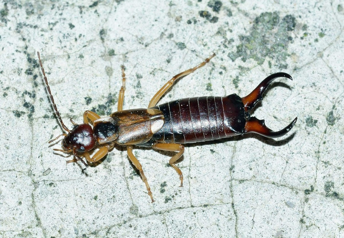 Earwigs get their name from the old European myth that they crawl into people's ears and tunnel into their brains while they are sleeping.