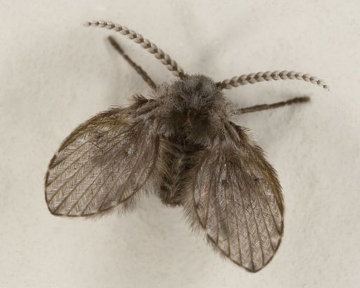 Drain flies, or moth flies, are small, dark-winged, non-biting gnats.