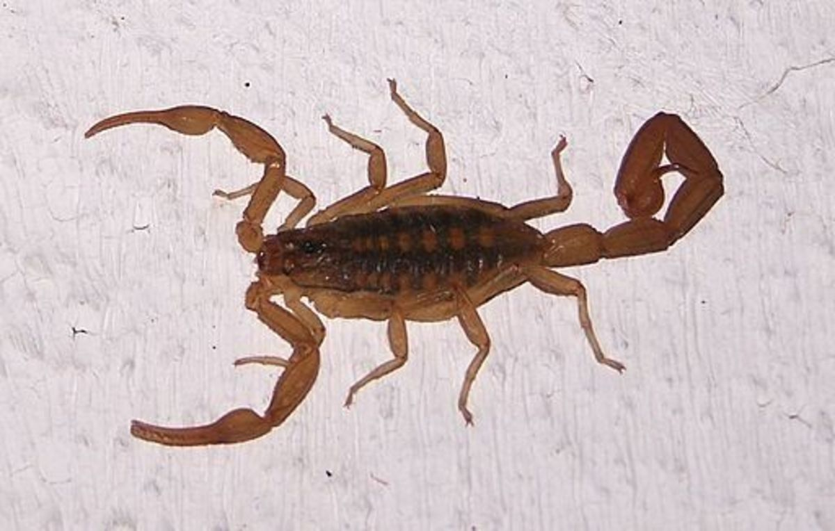 Most scorpions in the U.S. are found in the Southwest regions.
