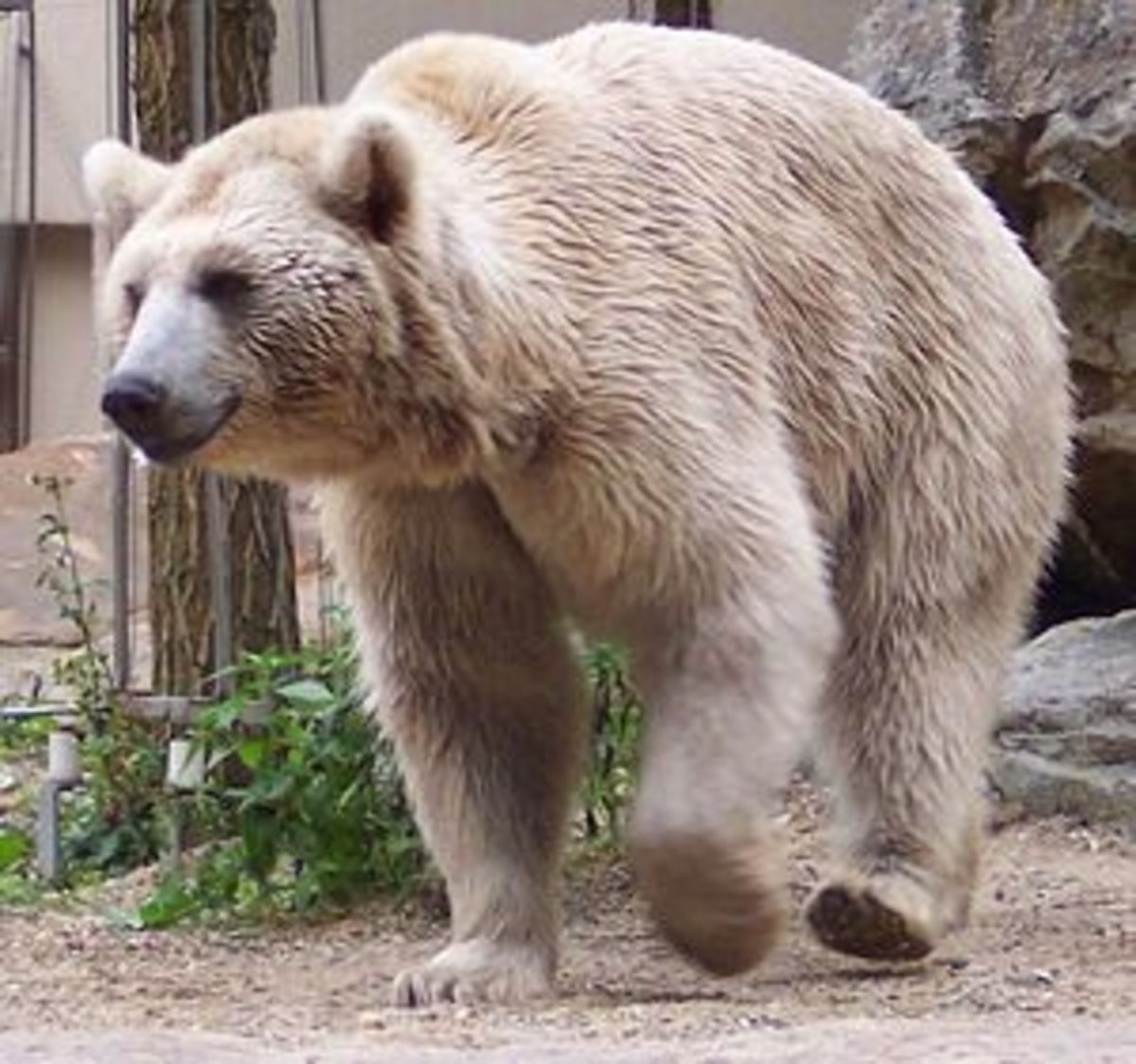 The Syrian Brown Bear