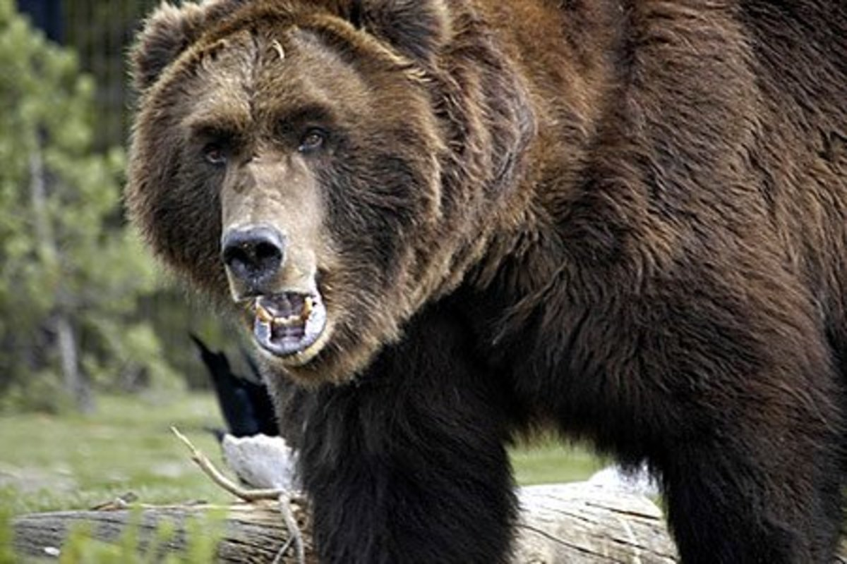 The Russian bear is the same as the grizzly bear. Alaska used to belong to Russia, of course!