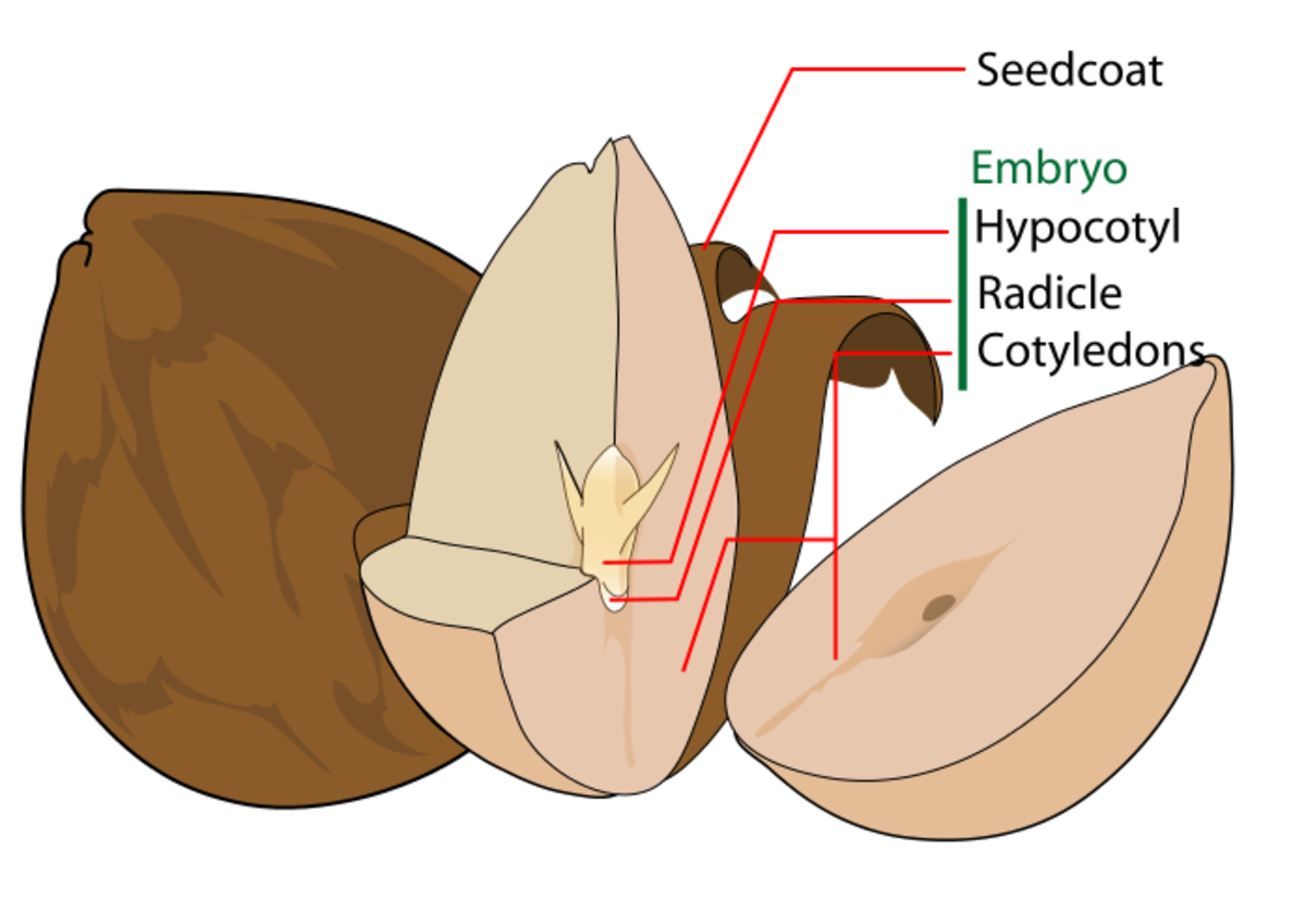 A diagram of an avocado seed.  The avocado is a dicot since it has two cotyledons.