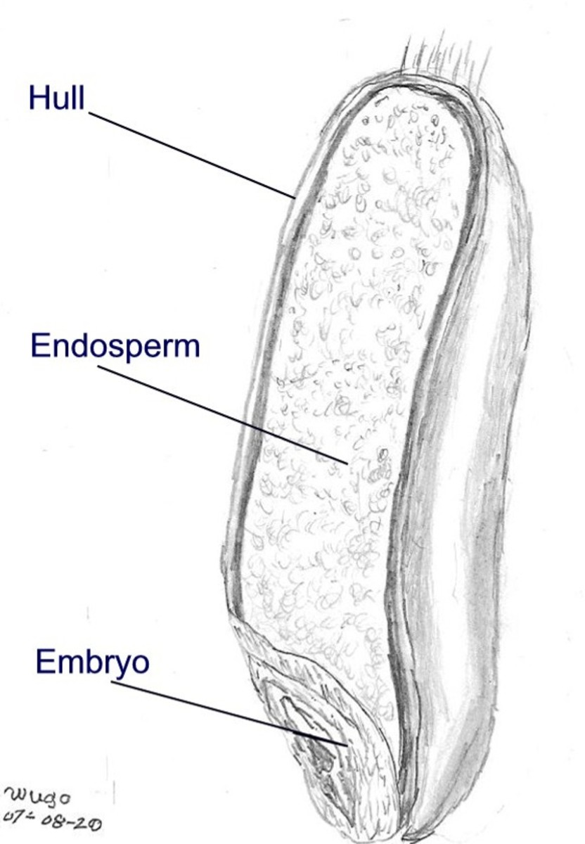 Diagram of a wheat seed (a monocot).