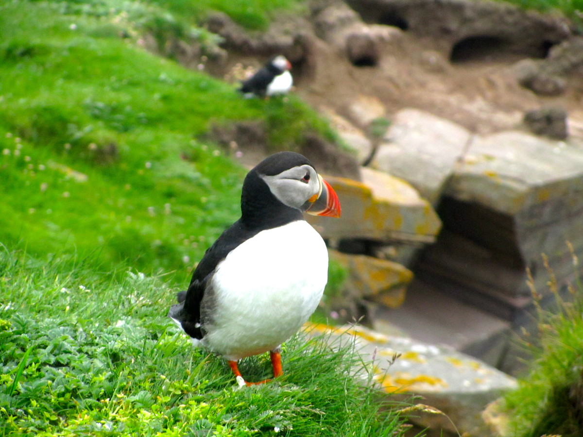 where-to-see-puffins