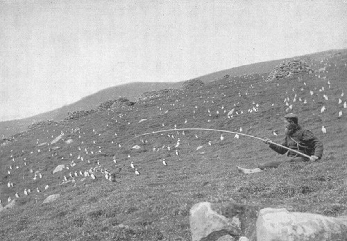 Catching puffins on St Kilda in 1898