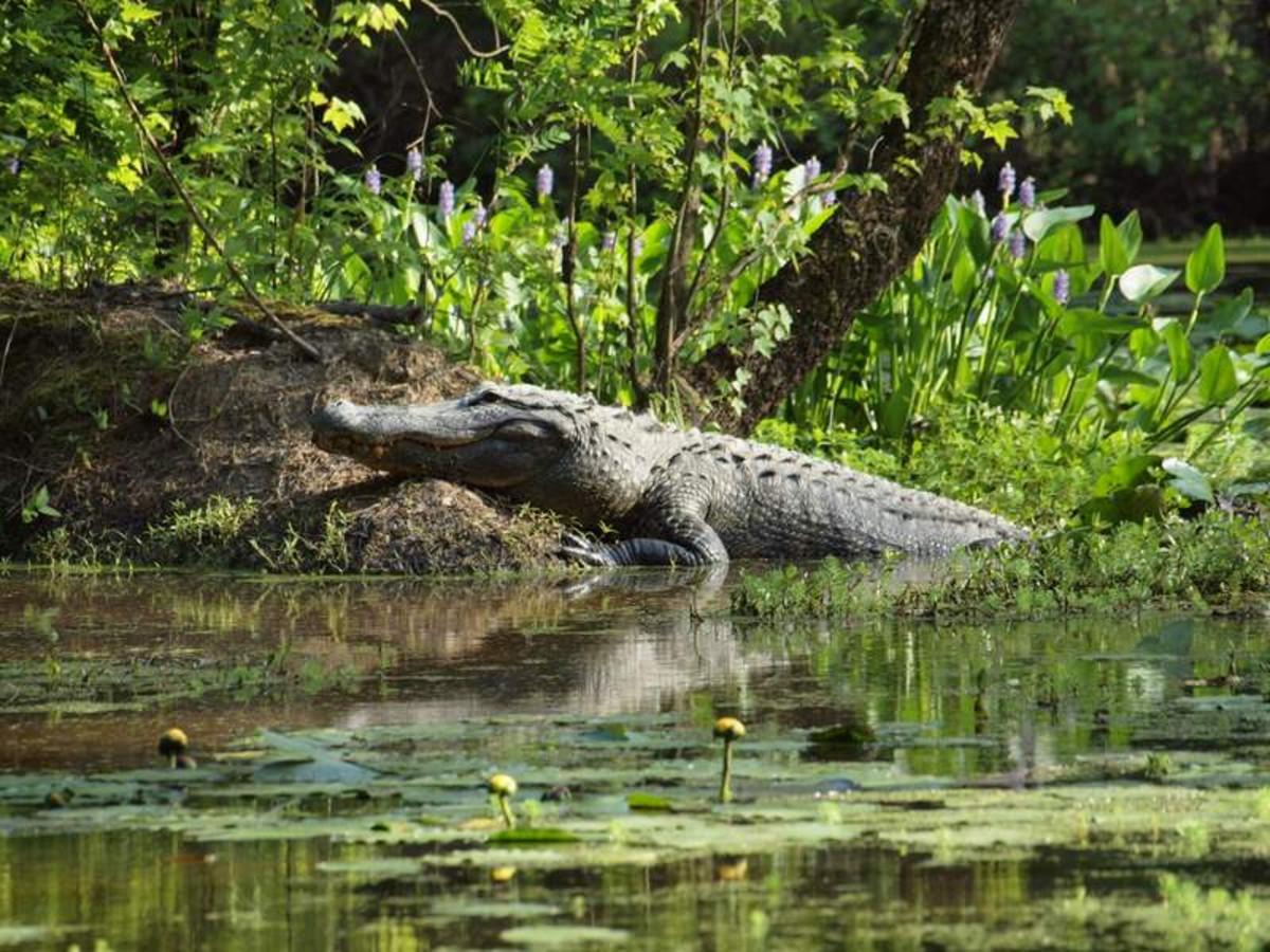 American Alligator at Congaree Creek Heritage Preserve in South Carolina