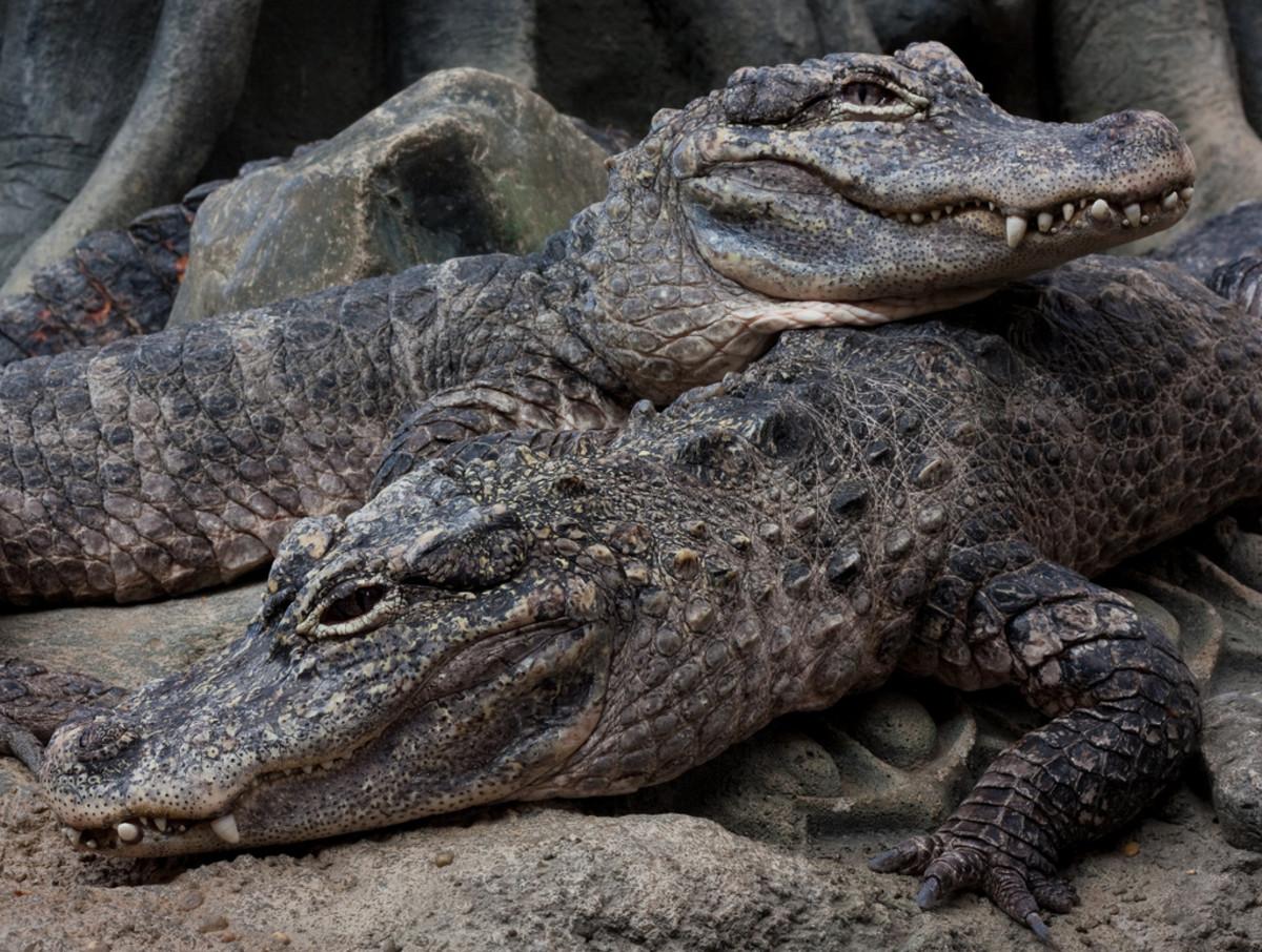 Chinese Alligator at the Cincinnati Zoo