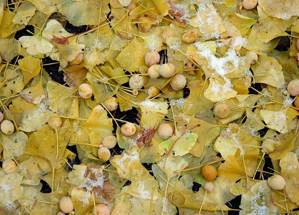 Seeds from a gingko tree