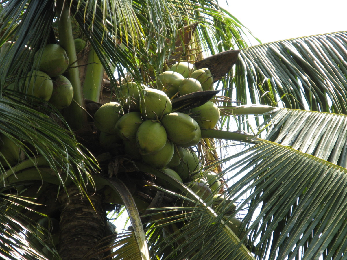 Protected by a very hard shell, coconuts are an example of an angiosperm.