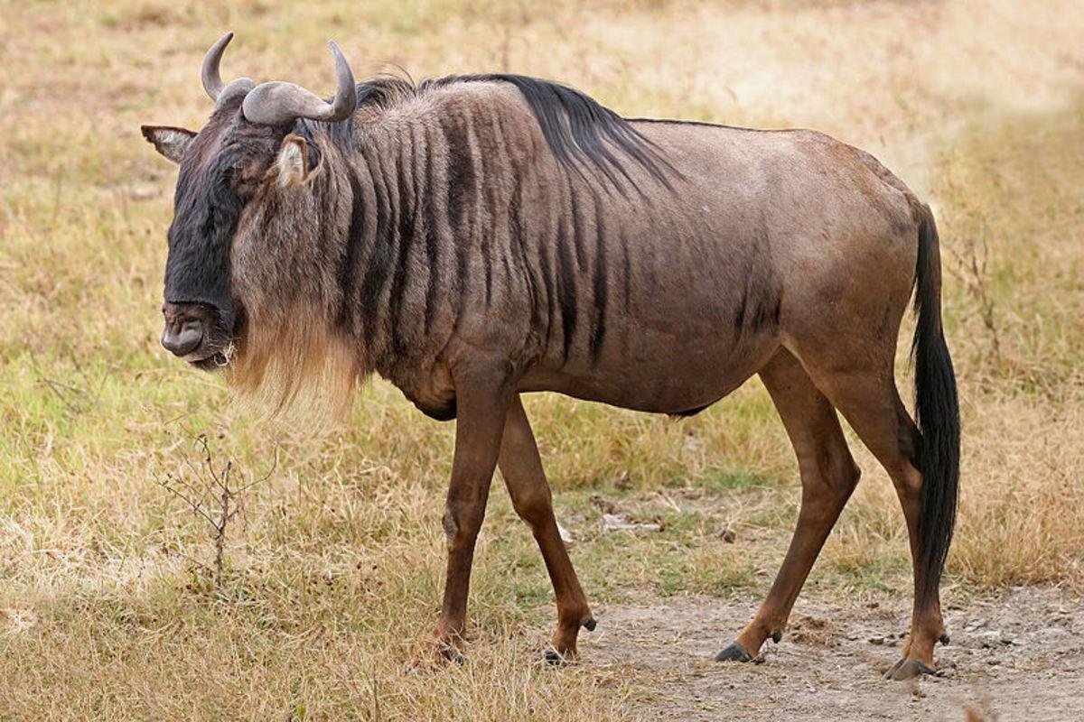 The blue wildebeest