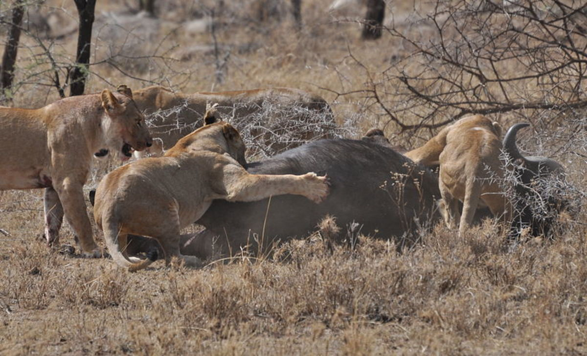 Only by working as a team were these lionesses able to tackle an animal as large and dangerous as a cape buffalo.