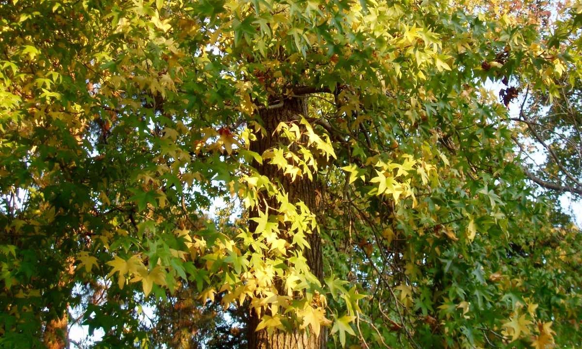 When the sun shines through these leaves, the effect is transcendent.