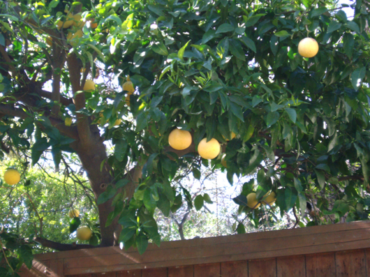 Grapefruit tree bearing fruit.