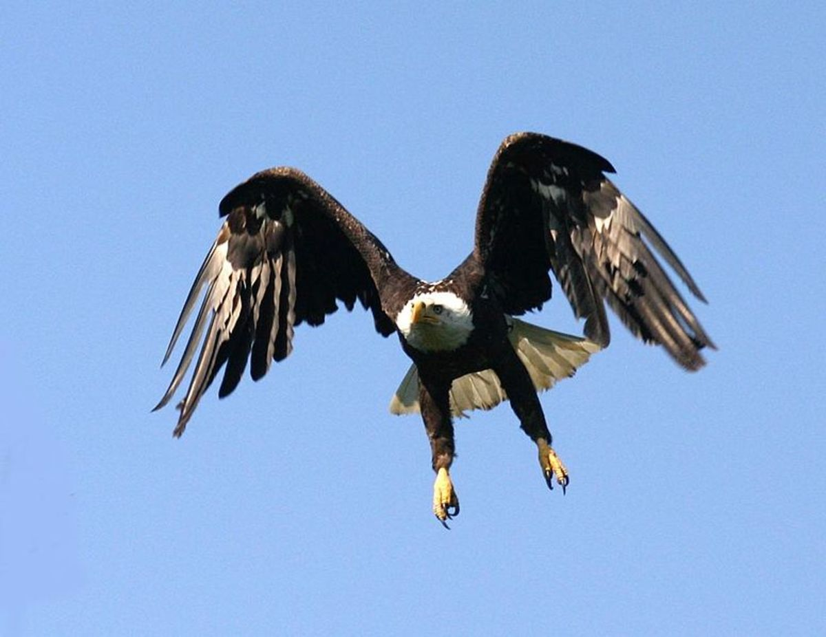 The bald eagle in flight