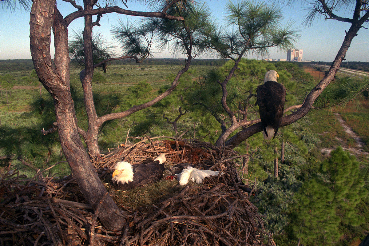 Bald eagle nest at the Kennedy Space Center in Florida.