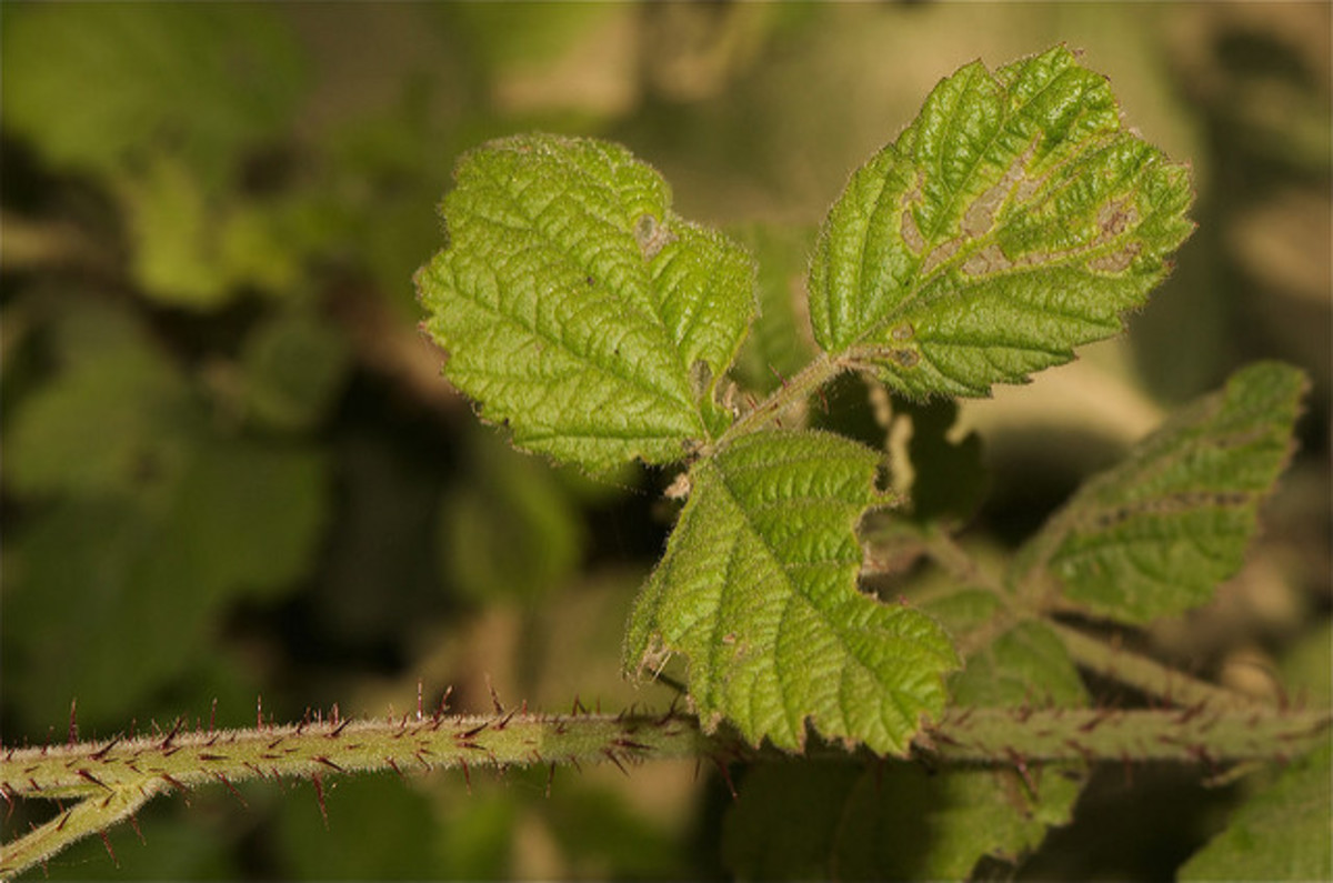 Notice the similarity in the leaf structure between blackberry plants and poison oak.