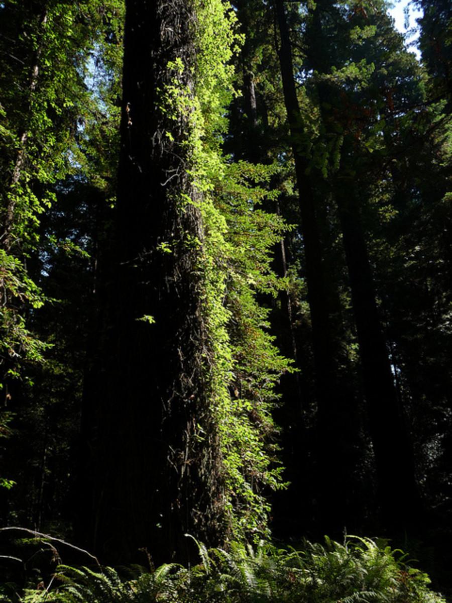 Poison oak climbing a tree
