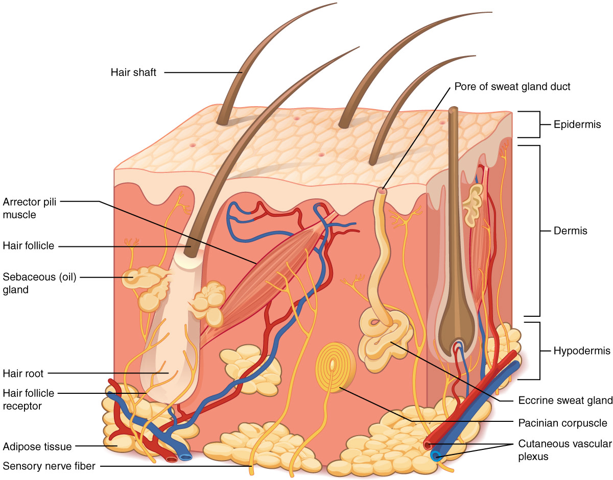 A simplified view of dermal structures