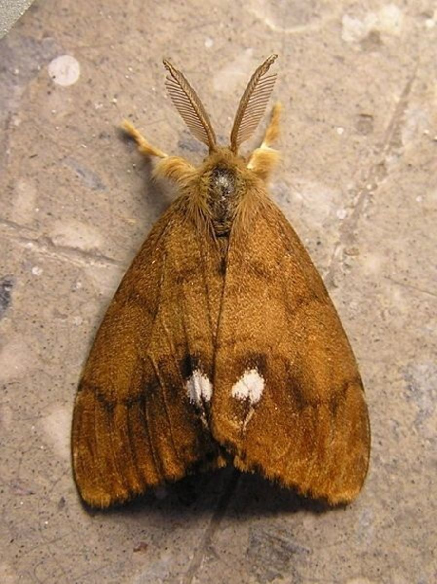 The Males of the Vapourer Moth are Fully Winged and are Orange-Brown With a White Spot on Each Fore Wing ...