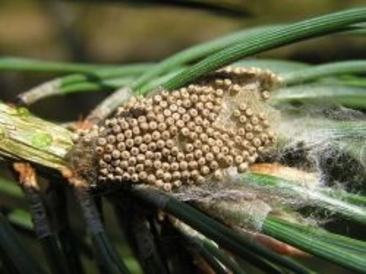 Eggs of the vapourer moth