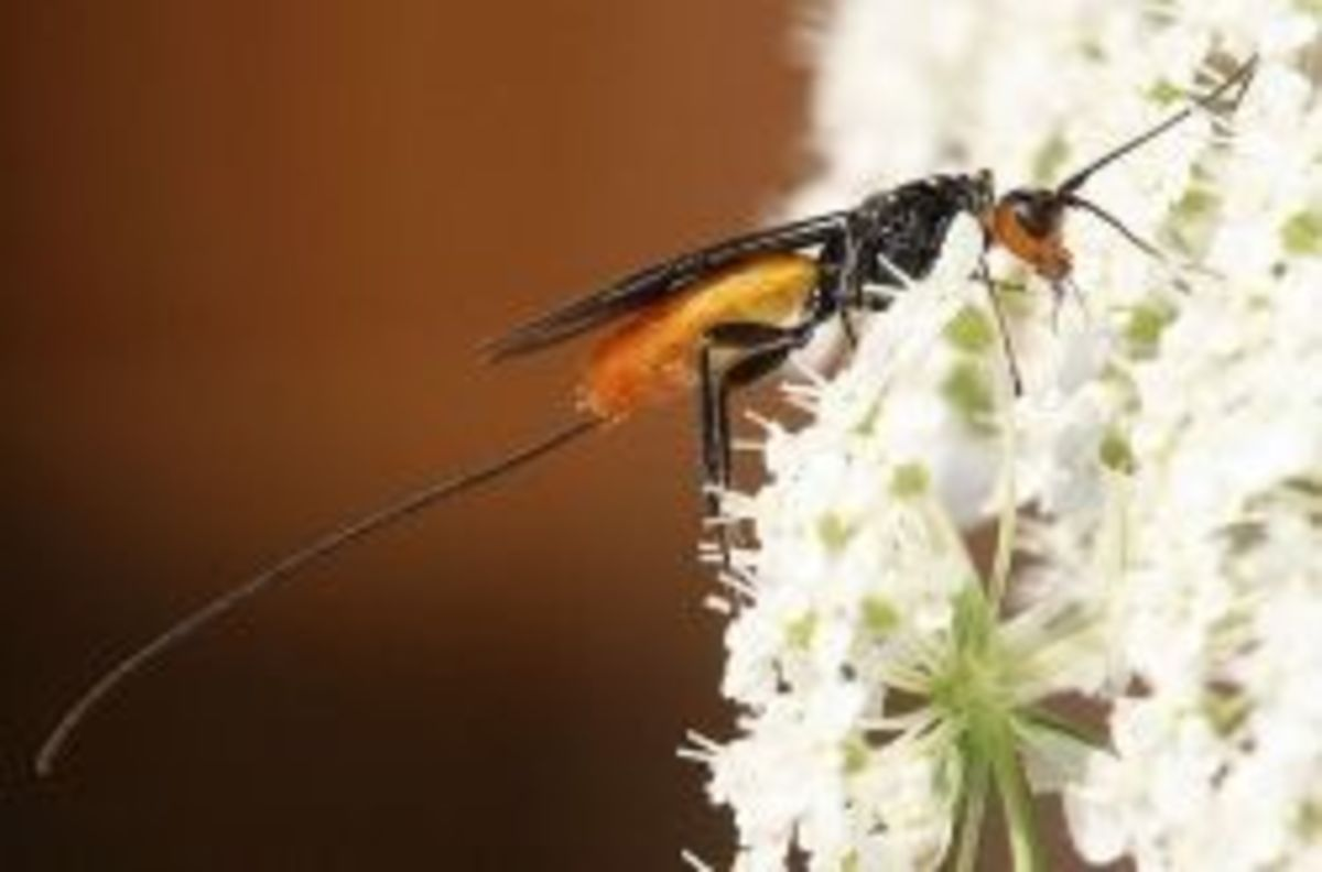 Atanycolus sp., a braconid wasp