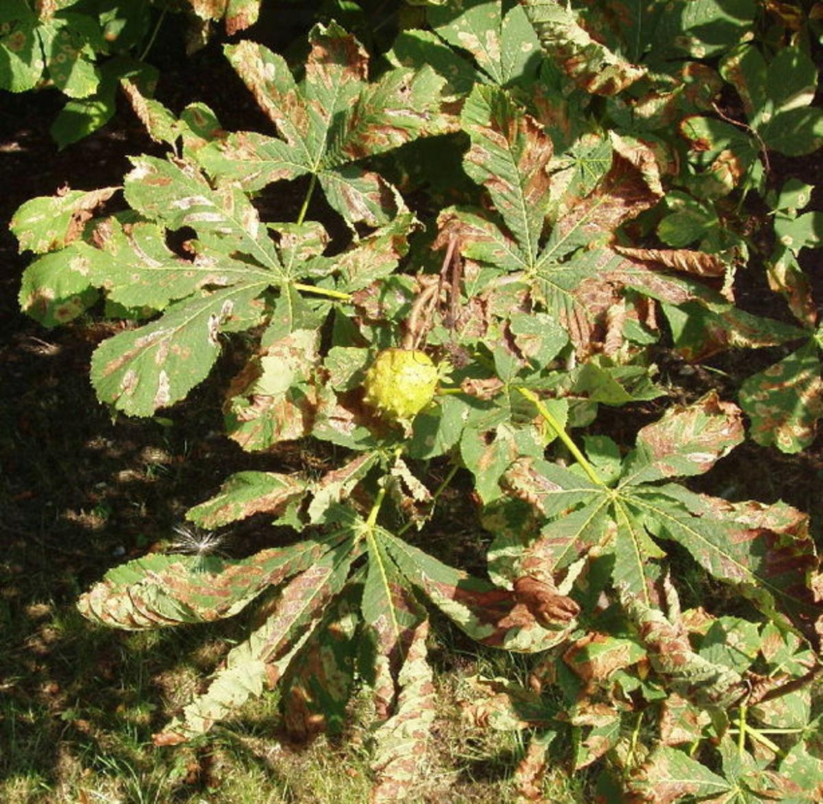 Horse Chestnut leaves with leaf miner damage