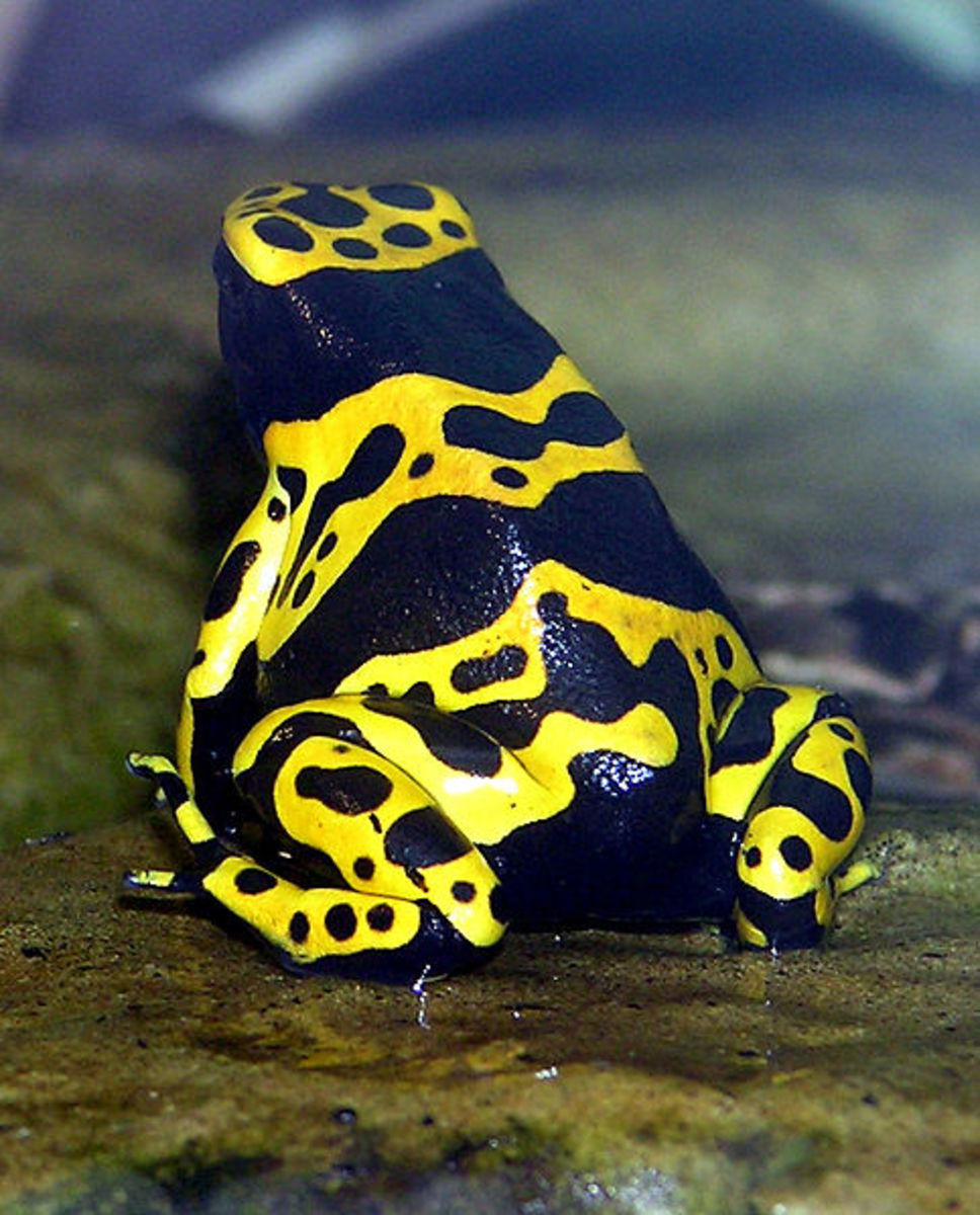 The bumble bee poison dart frog warns predators it is toxic with its yellow and black coloration
