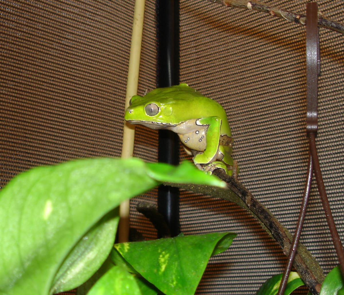 The giant waxy monkey, a psychoactive tree frog