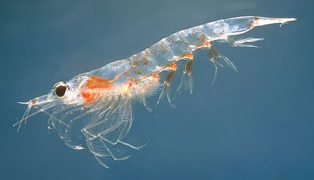 Krill are tiny organisms that grow on the surface of the sea in plankton. Whales and ocean fish of all kinds depend on krill as a basic component of their diet.