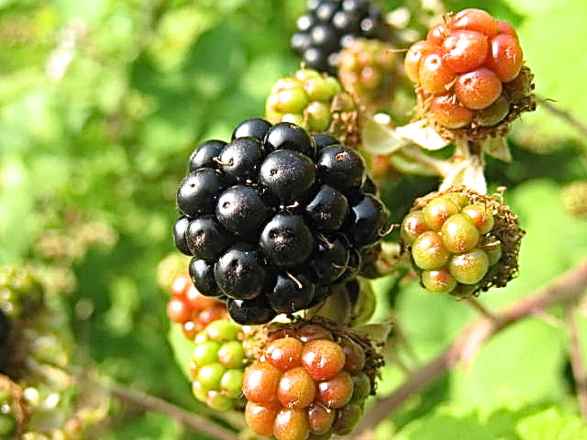 A ripe blackberry surrounded by unripe ones