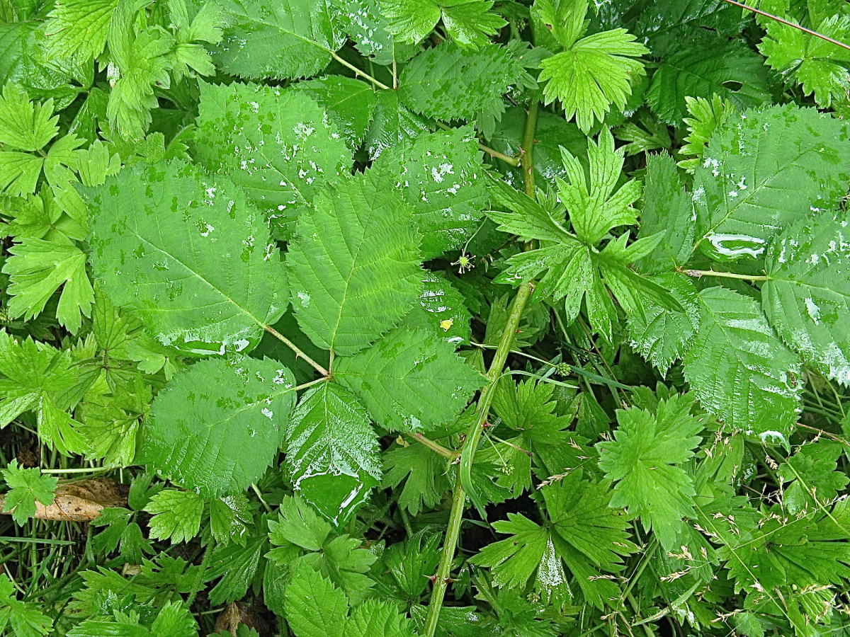 A Himalayan blackberry leaf (the large leaf on the left with the five leaflets)