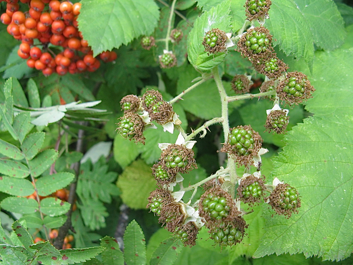 The green berries turn red and then black in late summer and early fall.