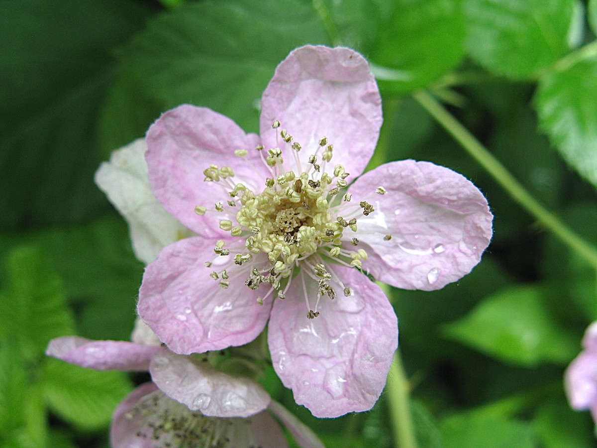 A Himalayan blackberry flower