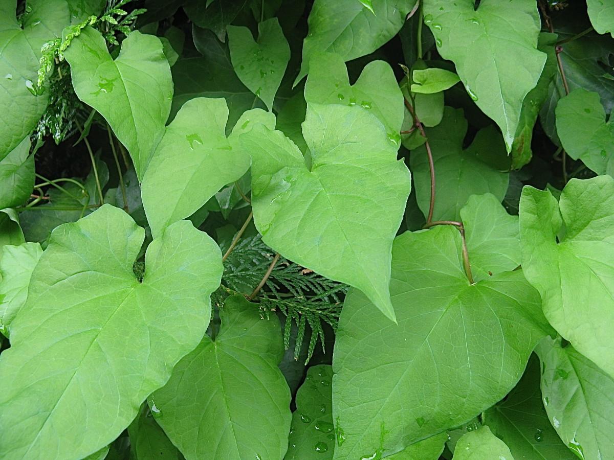 Hedge bindweed leaves and stems