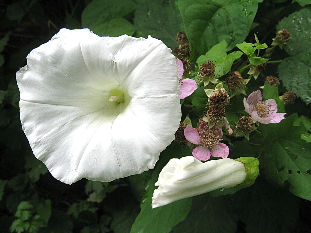 A hedge bindweed with blackberry flowers